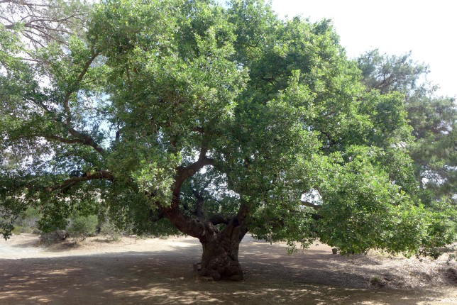 An amazing and massive oak tree that's over 800 years old